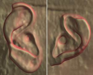 Два уха бюста Нефертити-3